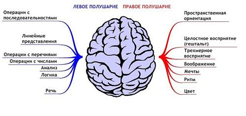 схема работы мозга, левое и правое полушарие за что отвечает