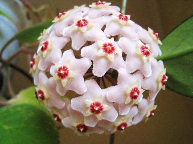 хойя, как выглядит, цветение хойи