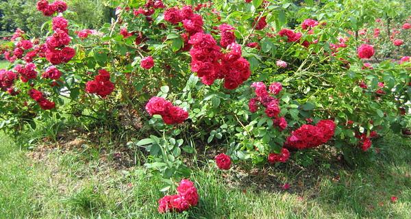 выращенные розы, кусты роз