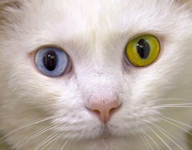 разный цвет глаз у кошки, гетерохромия у животных