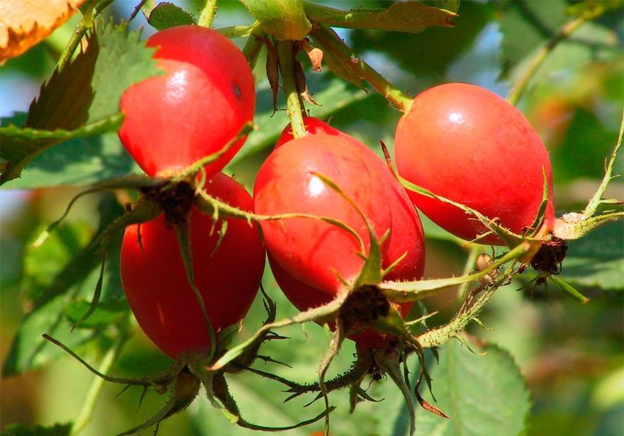 шиповник, рецепты из плодов шиповника, польза