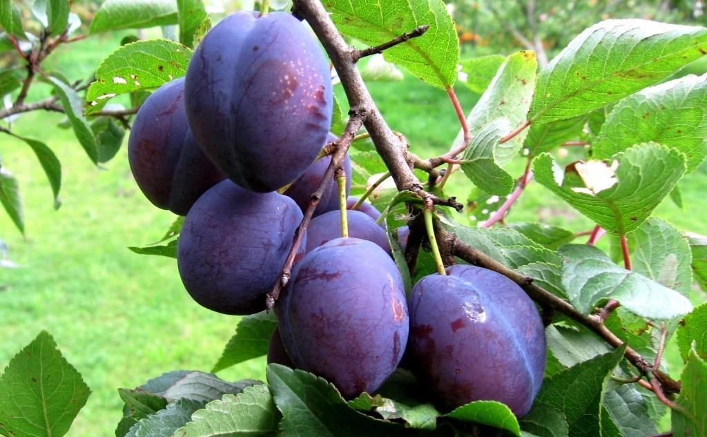 сиреневые, спелые плоды сливы, как вырастить, удобрять сливу