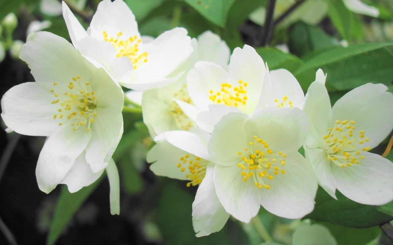 цветок жасмин, чай с добавлением жасмина